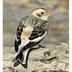 Nonbreeding plumage.